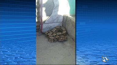 Cobra é encontrada por moradores no bairro São João da Escócia, em Caruaru - Corpo de Bombeiros foi até o local e capturou a Jiboia.