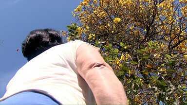 Conheça a moradora de Londrina que é apaixonada por ipês - Nem as flores que caem no quintal são varridas. A limpeza só é feita quando as flores secam.