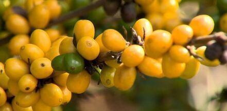 Pouco comum, café conilon 'amarelo' é estudado por produtor rural de Santa Teresa, ES - O produtor é o Luis Carlos Gomes, que há 4 anos encontrou a planta em sua lavoura.