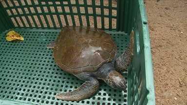 Tartaruga marinha é resgatada de lago de praça em Criciúma - Tartaruga marinha é resgatada de lago de praça em Criciúma