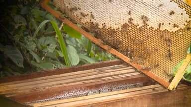 Ceplac oferece apoio para incentivar e ampliar a produção de mel no sul da Bahia - Estado produz 600 toneladas de mel por ano e é considerado o maior produtor de pólen do país.
