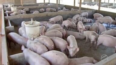 """Custo de produção de suínos cai e rentabilidade melhora em MS - O principal importador da carne suína produzida em Mato Grosso do Sul é """"Hong Kong"""", responsável por 74% da receita com as vendas externas."""