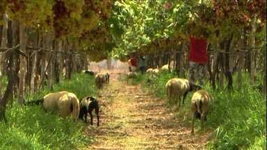 Consórcio de uva com ovelha aproveita melhor a terra e dá lucros em PE - Todo agricultor já deve ter se perguntado: 'será que eu estou sabendo aproveitar o potencial que as minhas terras podem oferecer?'. Conheça um tipo de consórcio que vem dando certo em uma fazenda em Pernambuco.