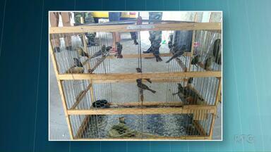 Polícia ambiental apreende pássaros silvestres em Cidade Gaúcha - Os pássaros serão soltos na natureza