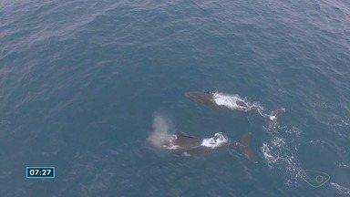 Oceanógrafo do ES grava canto das baleias - Gravações são usadas para estudar a interferência do barulho das embarcações na comunicação das baleias.