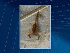Aparecimento de escorpiões preocupa moradores de Adamantina - População vive com medo de ser picada pelos animais peçonhentos.