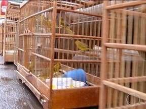 Operação Araruama apreende mais de 400 aves silvestres em menos de uma semana - Ação é realizada pela PM de Meio Ambiente em Montes Claros.