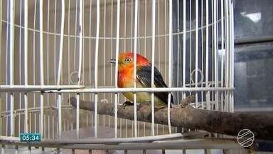 Pássaro raro é encontrado ferido em Campo Grande - Trabalhador encontrou o pássaro e o levou para casa. Em pesquisa, descobriu que o animal é um uirapuru.