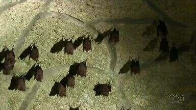 Saiba como proceder com morcegos que se abrigam nas casas - Saiba como proceder com morcegos que se abrigam nas casas