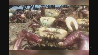 Mais de 100 caranguejos são devolvidos à natureza em Cubatão - Animais foram pescados e eram comercializados ilegalmente na Rodovia dos Imigrantes.
