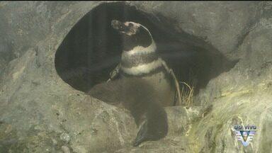 Pinguim nascido em cativeiro tem filhote no Aquário de Santos - Essa é mais uma atração para quem visitar o parque.