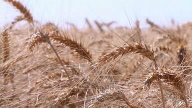 Produtor bate recorde de produtividade de trigo em Goiás - A colheita foi cerca de 300% a mais do que a média nacional.