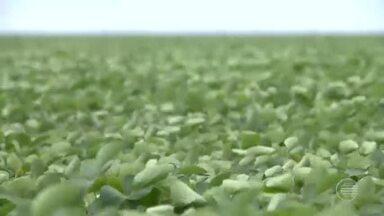 Próxima safra de soja no Piauí deve ultrapassar 2 milhões de toneladas - Próxima safra de soja no Piauí deve ultrapassar 2 milhões de toneladas