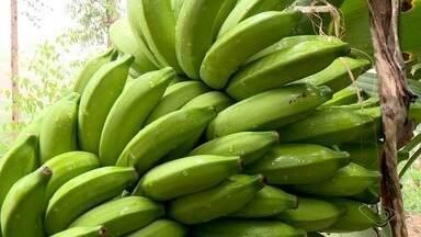 Produção de banana dobra em dois anos no Norte do ES - Incaper informou que a produção no estado está em torno de 277 mil toneladas ao ano, em uma área de mais de 26 mil hectáres.