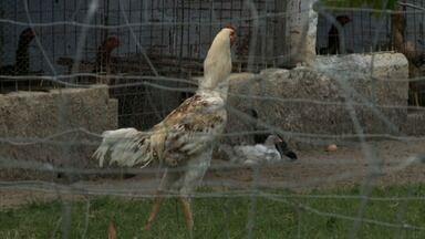 Criação de galo índio gigante tem atraído atenção de produtores alagoanos - Espécie surgiu do cruzamento de galos de rinha com galinhas caipiras.