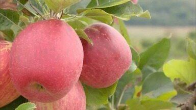 Chega a época de colheita da maçã em Minas Gerais - Os agricultores colhem cerca de 22 quilos da maca a cada uma hora.