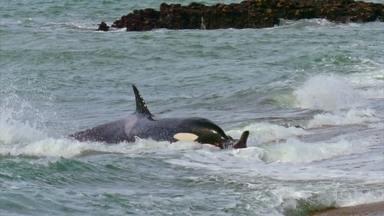 Domingão Aventura: biólogo explica rotina das baleias orcas - João Paulo Krajewski viajou para a Patagônia argentina e para a Noruega para mostrar o comportamento desses animais