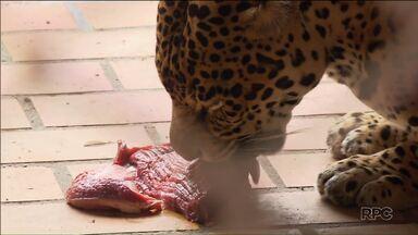 Conheça o tratador que alimenta os animais ferozes no Zoológico de Curitiba - É preciso cuidado, treinamento e atenção para fazer esse trabalho.