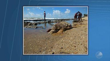 Tartaruga marinha é encontrada morta em Conde - Veja no quadro da previsão do tempo.