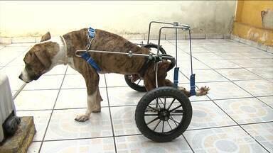Trabalho voluntário ameniza sofrimento de animais - Último a ser ajudado foi um cachorro que recebeu um equipamento para voltar andar.