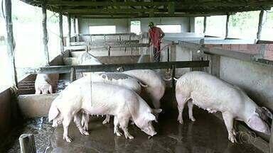 Produção de suínos aumenta no sul do estado - Produção de suínos aumenta no sul do estado