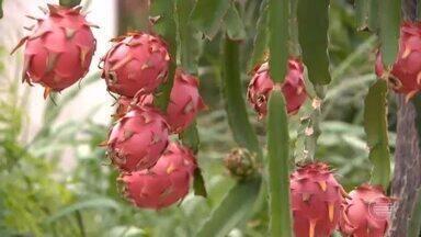 Conheça detalhes do cultivo da pitaya em Pedro II - Conheça detalhes do cultivo da pitaya em Pedro II