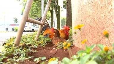 """Galo e galinha decidem 'morar' em Fórum de Catanduva - Um galo e uma galinha fazem parte do quadro de """"funcionários"""" de um ambiente onde predominam pilhas de papel e pessoas concentradas. Sem cerimônias, o casal de aves gostou tanto da companhia dos colegas e decidiu morar no prédio do Fórum de Catanduva (SP)."""
