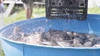 Vídeo mostra despesca de quase duas toneladas de tilápias em Cariacica, ES - Peixes foram encaminhados para um frigorífico.