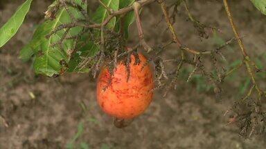 Saiba mais sobre o cultivo do cajú - Reportagem mostra como é o cultivo no interior de Alagoas.