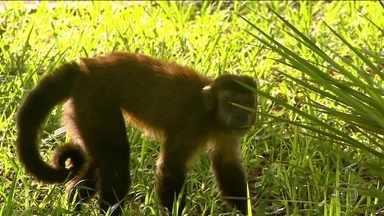 Macacos são vítimas da falta de informação sobre febre amarela - Laboratório do Rio recebeu em janeiro número recorde de animais mortos. Macacos se contaminam e ajudam a identificar onde há transmissão.