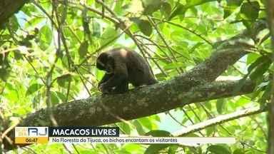 Macacos não transmitem febre amarela - Na Floresta da Tijuca, eles vivem livres e encantam os visitantes