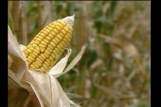 Aberta oficialmente em Giruá, RS, a colheita do milho no Estado - As mudanças constantes no clima aferaram a safra gaúcha este ano.