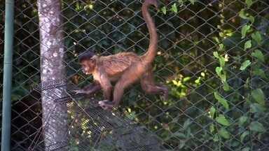 Saiba como proteger os macacos, primeiras vítimas da febre amarela - Centenas morreram no ano passado em decorrência da doença, e algumas espécies estão sendo dizimadas. Ameaça fecha Zoológico de São Paulo.