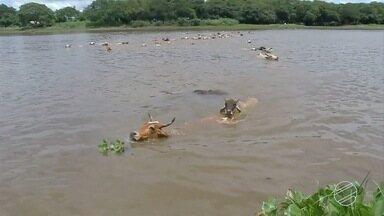 Chuvas no Pantanal de MS geram problemas para produção agrícola e pecuária - Animais morrem afogados, estradas impedem escoamento da produção agrícola e há produtor isolado nas propriedades.