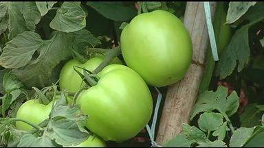 Mesmo com período chuvoso, produtores rurais comemoram o cultivo do tomate - Mesmo com período chuvoso, produtores rurais comemoram o cultivo do tomate