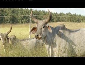 Melhoramento genético garante qualidade do rebanho bovino em Curvelo - Animais da raça Guzerá se destaca diante dos investimentos.