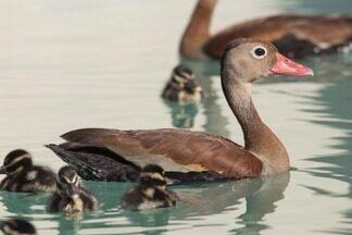 Marrecas na piscina - Aves silvestres buscam piscina para crescer.