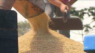 Concorrência externa compromete safra de arroz em SC - Concorrência externa compromete safra de arroz em SC