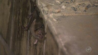 Prefeitura de Jundiaí confirma o quinto caso de raiva em boi - Prefeitura de Jundiaí (SP) confirmou, nesta sexta-feira (9), o quinto caso de raiva animal na cidade. Técnicos de Defesa Agropecuária encontraram um abrigo de morcegos na área rural.