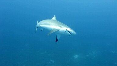 Em Fernando de Noronha, tubarões em massa assustam a população - Predadores do arquipélago se aproximam de turistas. Esses peixes são normais nesta época do ano, mas agora aparecem em grande número.