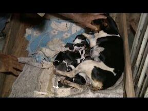 Cadelinha dá a luz a 16 filhotes em Governador Valadares - Animal da raça Foz paulistinha tem apenas quatro anos.