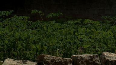 Folhas da moringa estão sendo usadas como suplemento alimentar em Paripueira - A Moringa é comum em países da Àfrica e da Àsia.