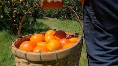 Produtores estão otimistas com safra de caqui fuyu em Piedade - Márcio Issau Sakaguti produz caqui há 65 anos em Piedade (SP). A colheita este ano já começou e ele está otimista com a safra. No sítio da família, a produtividade deve crescer em torno de 25%.