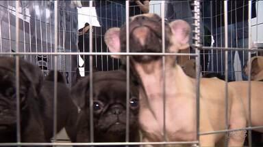 Filhotes roubados de Pet Shop de Curitiba são encontrados em Fazenda Rio Grande - Ao todo são onze filhotes. A polícia vai pedir a prisão preventiva de um dos suspeitos do roubo, que chegou a ser levado pra delegacia, mas foi solto em seguida.