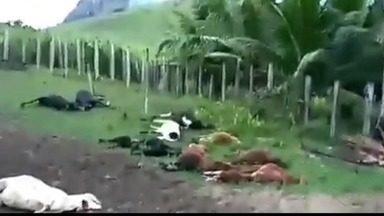 Mais de 20 carneiros aparecem mortos em propriedade rural de Ecoporanga, ES - Em um vídeo que circula na internet, dono da propriedade diz que acredita que os animais tenham sido atacados por uma onça. Idaf reforçou a possibilidade de um ataque animal.