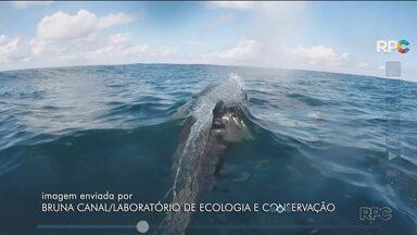Golfinhos de duas espécies diferentes fizeram aparição rara no litoral do Paraná - Os pesquisadores do Centro de Estudos do Mar monitoram os animais.