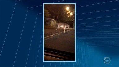 Cavalos soltos nas ruas preocupam moradores em Presidente Prudente - Neste ano, 25 animais foram capturados em vias públicas.