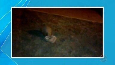 Tatu é flagrado passeando por Corumbá - Vídeo mostra o animal com um saco plástico, o que é perigoso para a saúde do mesmo.