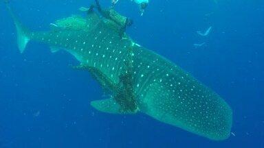 Pescadores encontram tubarão-baleia na praia de Itapuã, em Salvador - O animal foi encontrado na terça-feira (17) e estava com uma rede presa no corpo.
