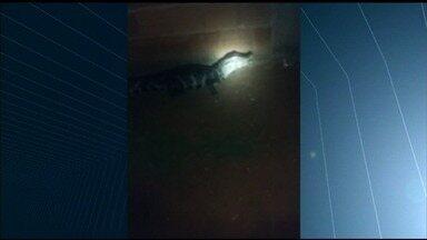 Jacaré é capturado dentro do quintal de casa em Itumbiara - Imagens mostram o momento em que o animal é resgatado; Corpo de Bombeiros acredita que animal tenha saído de lago que fica na região.
